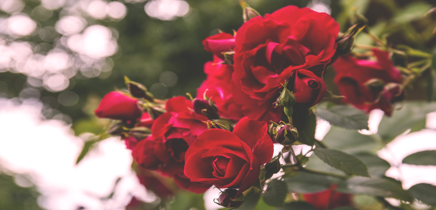 walfilii-wilde_rozen-tuin-meise-plantentuin