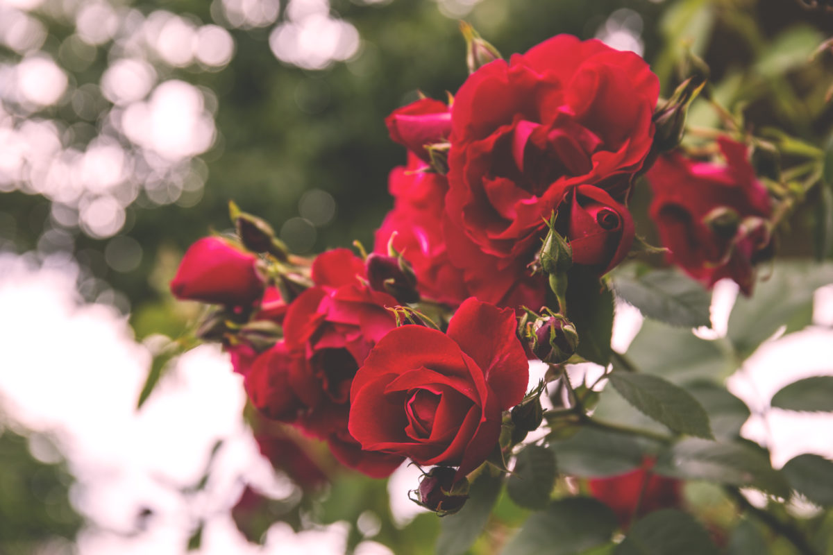 WALFiLii rose garden in Meise